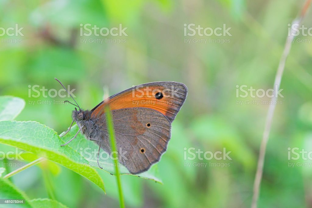 Gray Hairstreak butterfly feeding on a spring flower stock photo