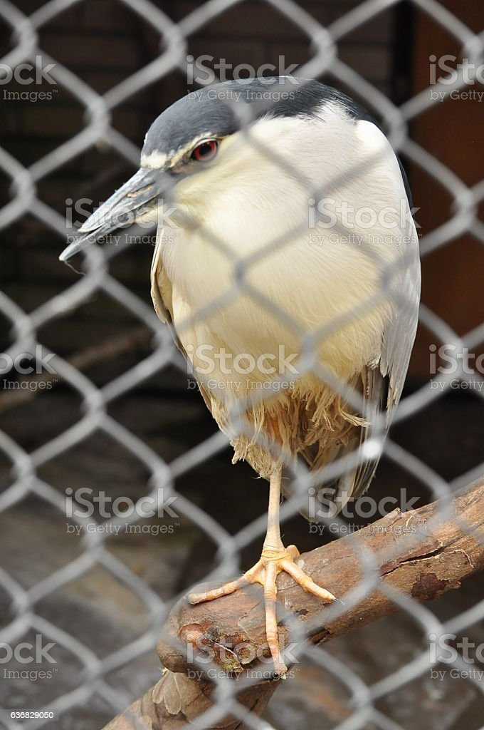 Gray heron in cage in zoo stock photo