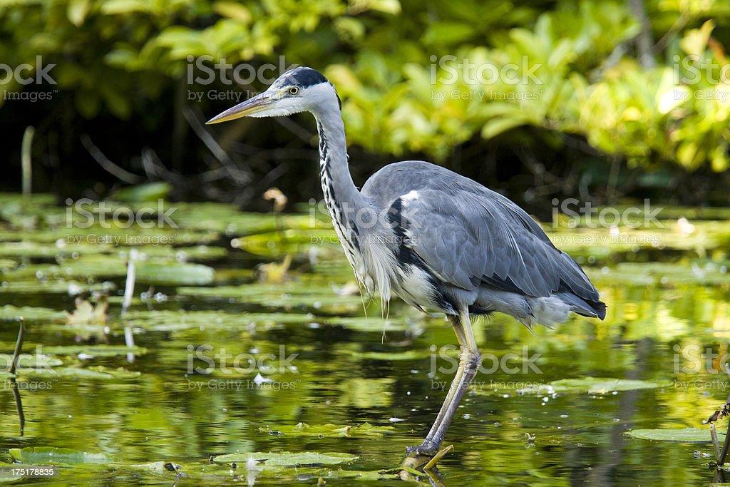 Gray Heron royalty-free stock photo
