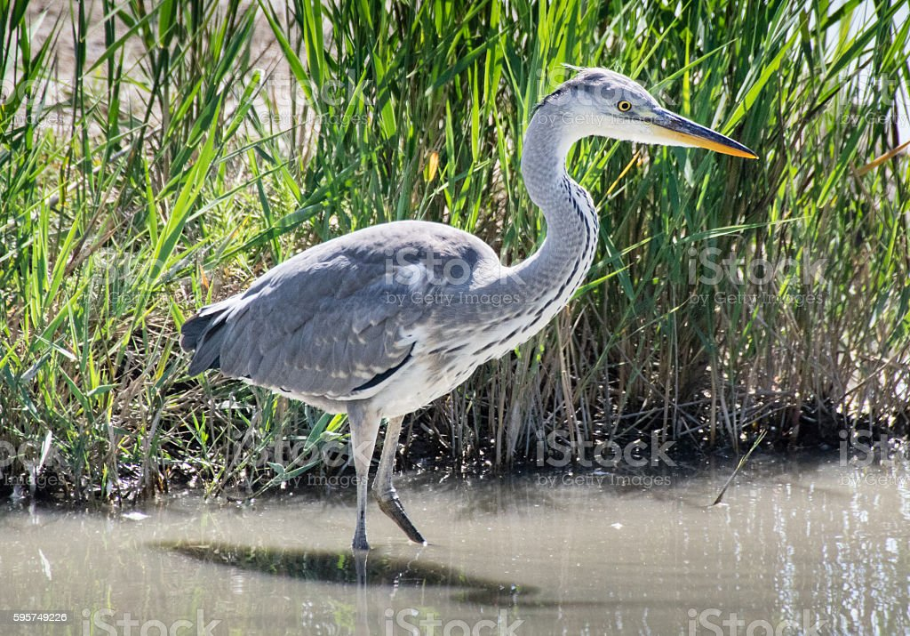 Gray heron stock photo