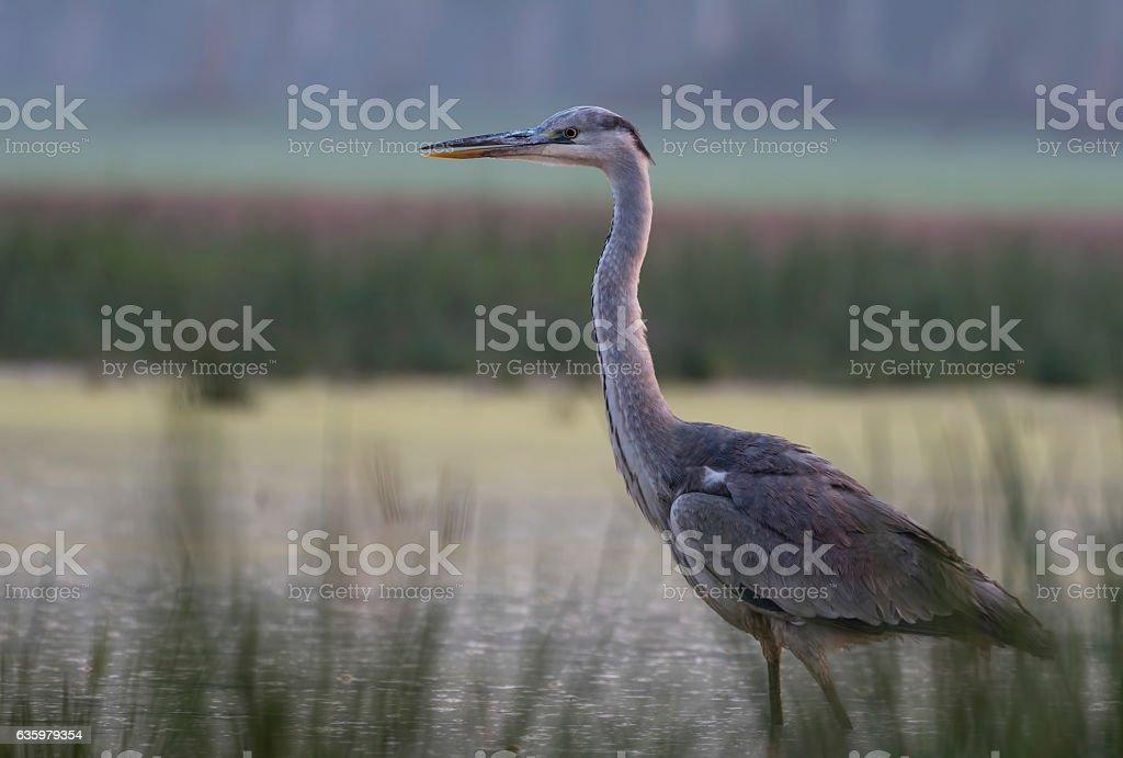 Gray heron stock photo