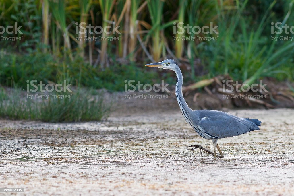 Gray Heron walking in the swamp at evening stock photo