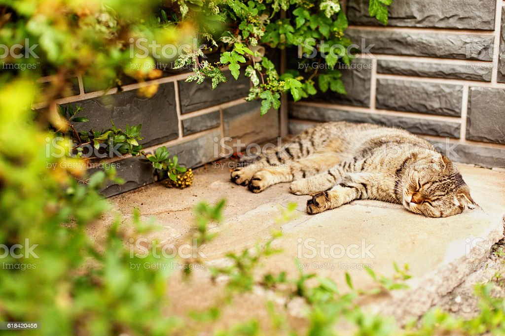Gray home exotic shorthair tabby cat lying in the garden stock photo