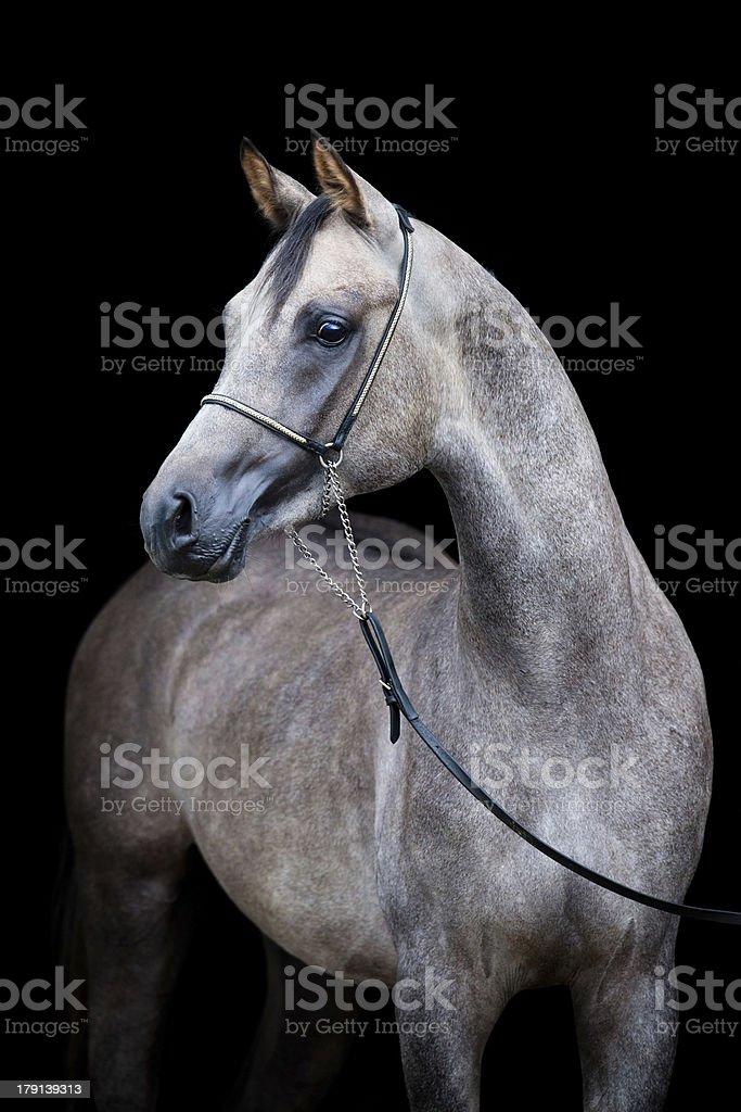 Gray horse head isolated on black. royalty-free stock photo