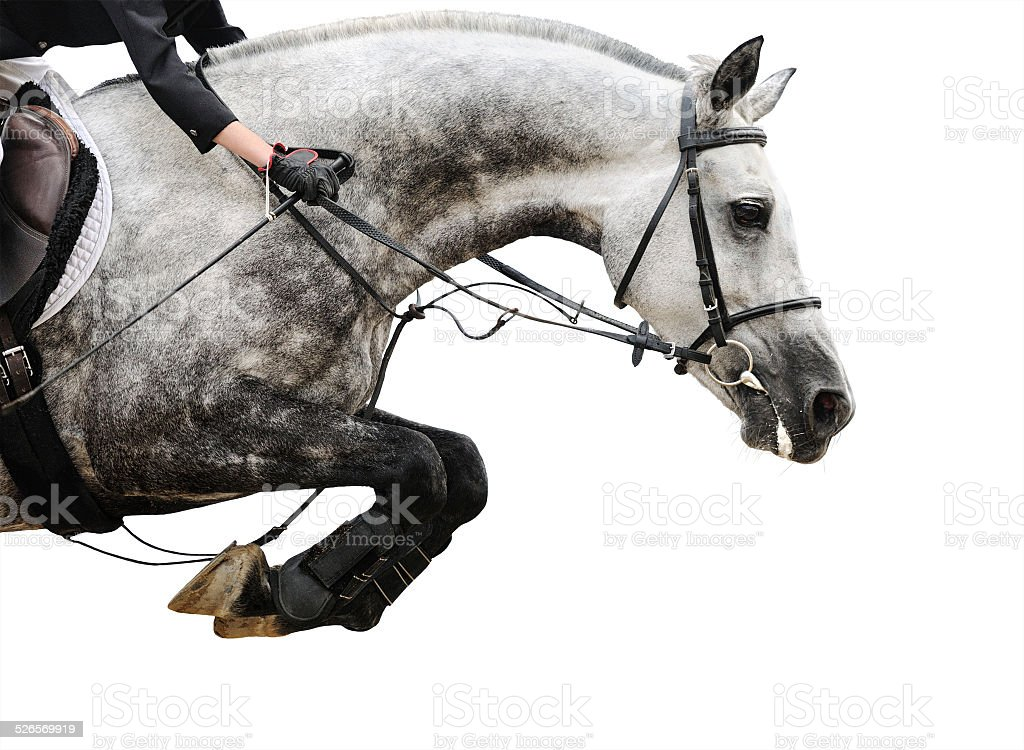 Gray horse in jumping show, isolated stock photo