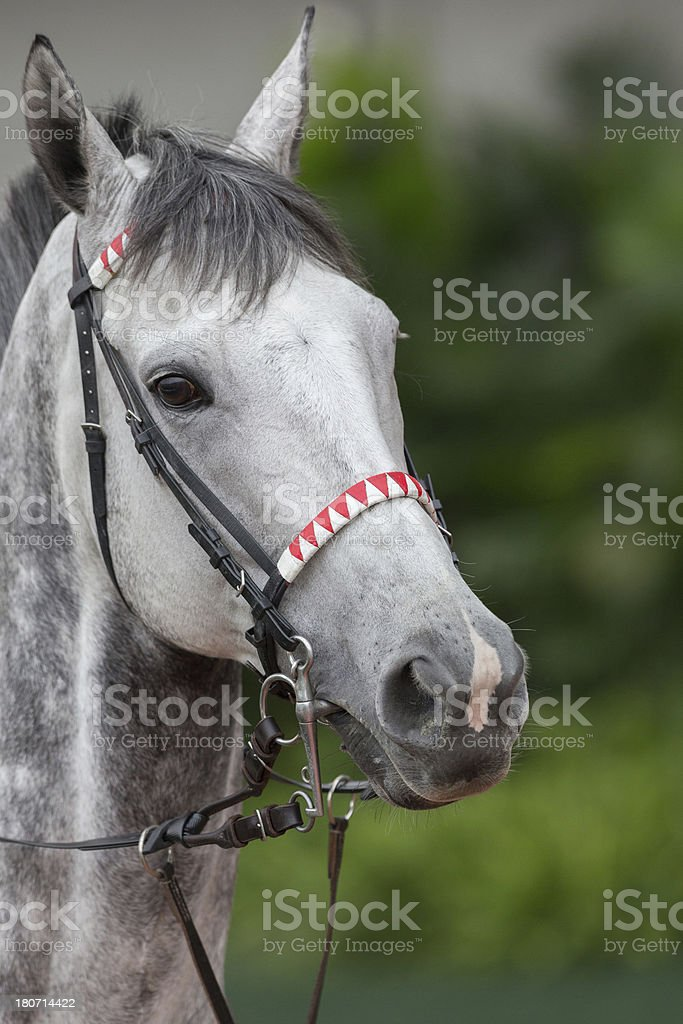Gray Horse royalty-free stock photo