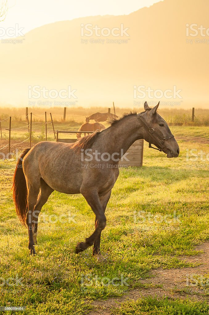 Gray horse playing on meadow stock photo