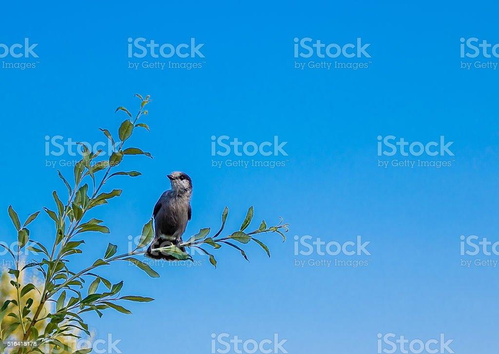 Gray jay aka camprobber stock photo