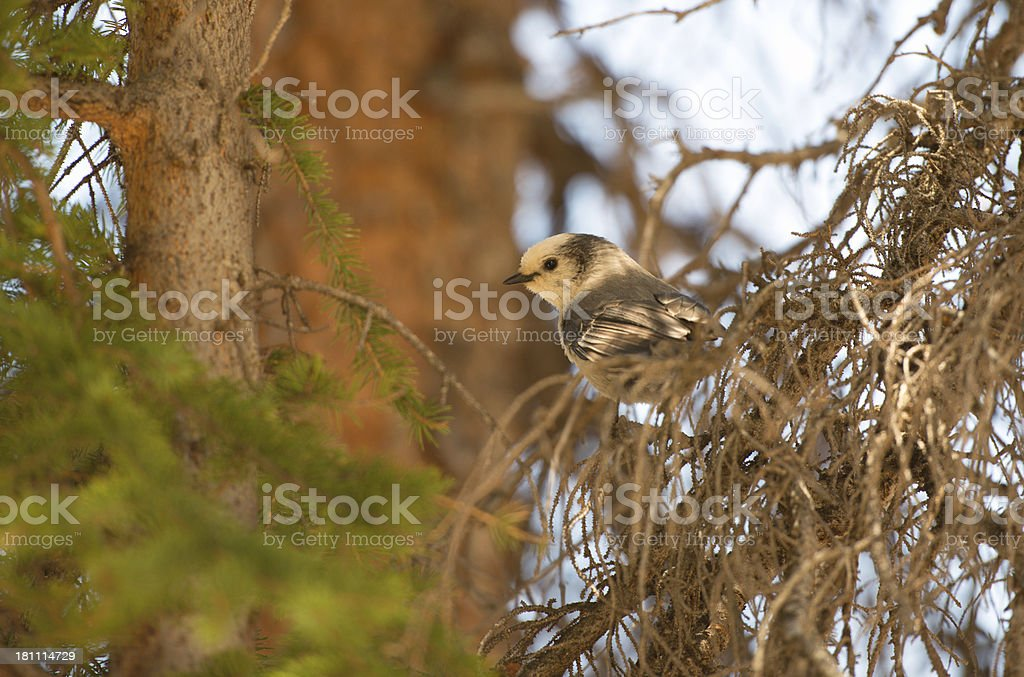 Gray Jay bird on pine branch in the Rocky Mountains stock photo