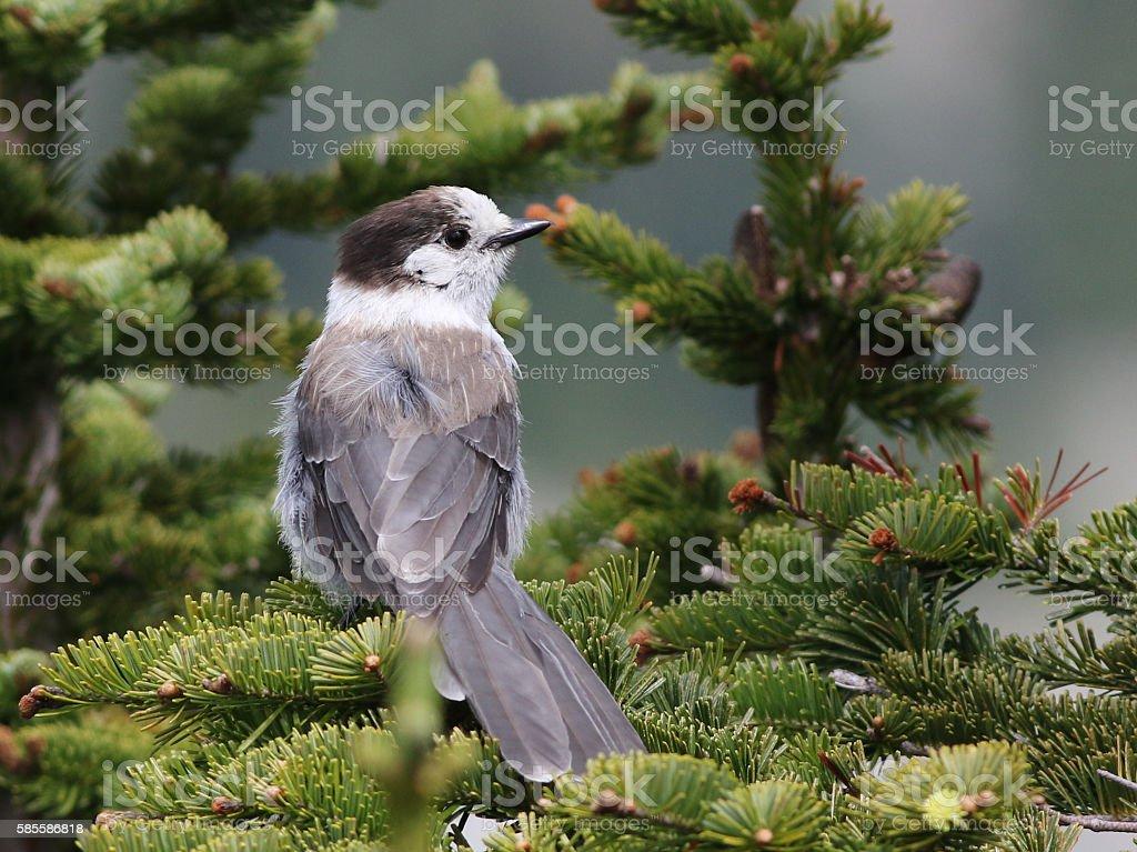 Gray Jay in a Tree stock photo