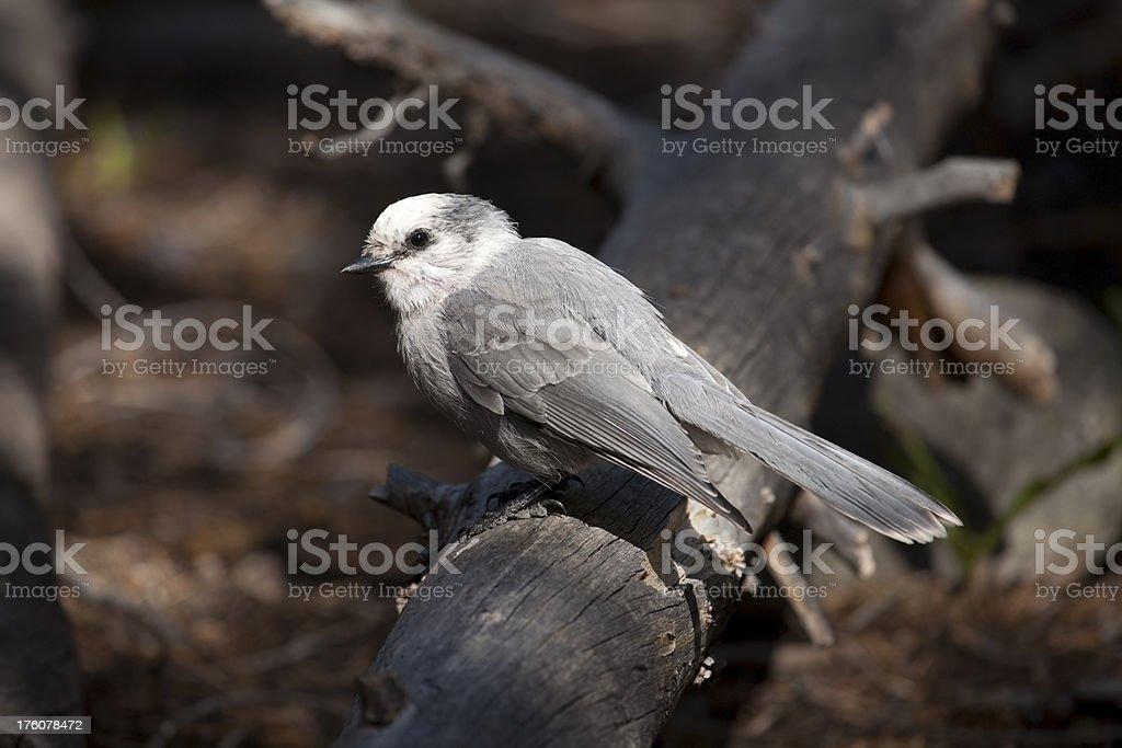 Gray Jay in Rocky Mountain National Park stock photo