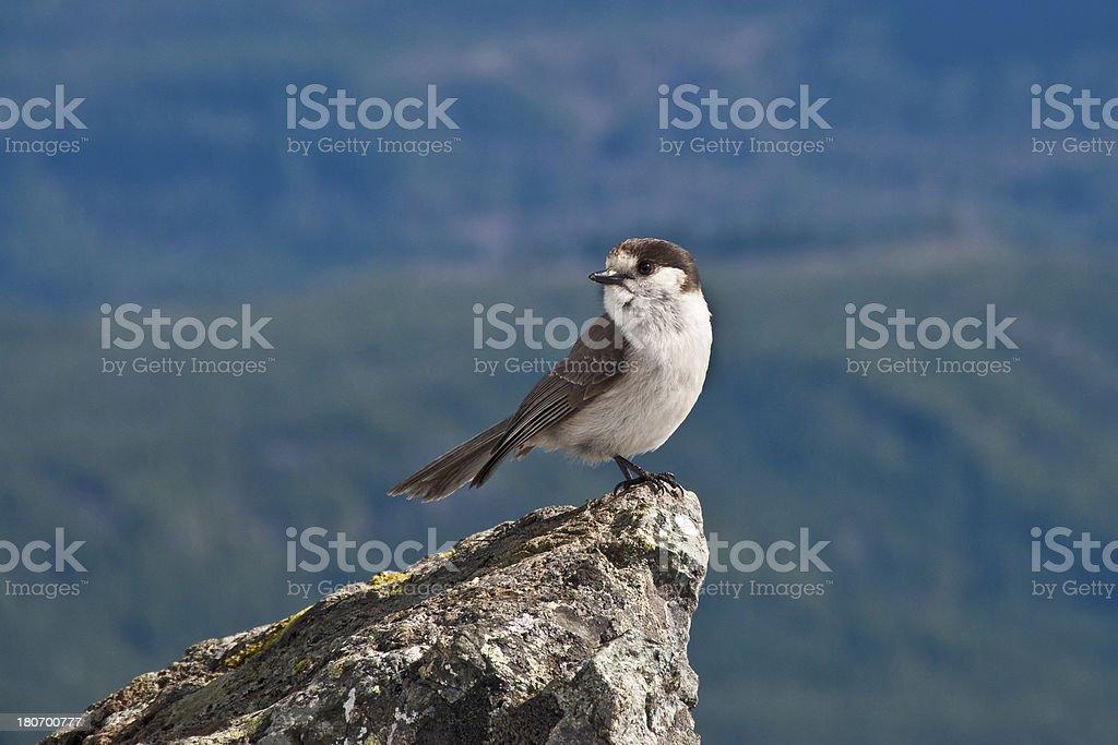 Gray Jay on a Mountain Peak stock photo