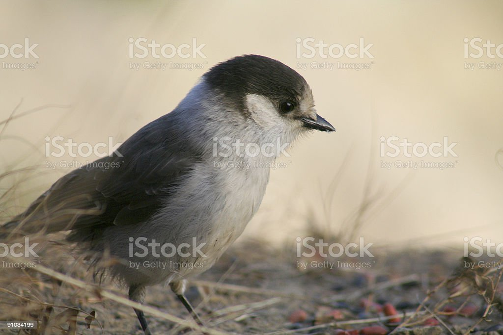 gray jay on the ground royalty-free stock photo