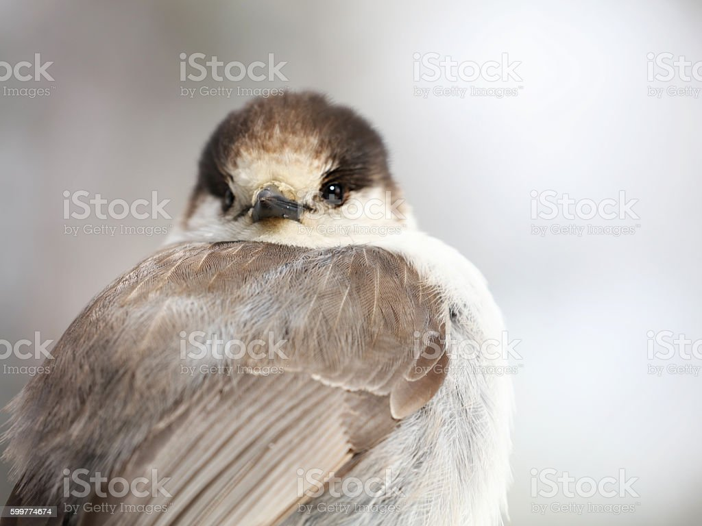 Gray Jay or Canada Jay (Perisoreus canadensis) bird stock photo