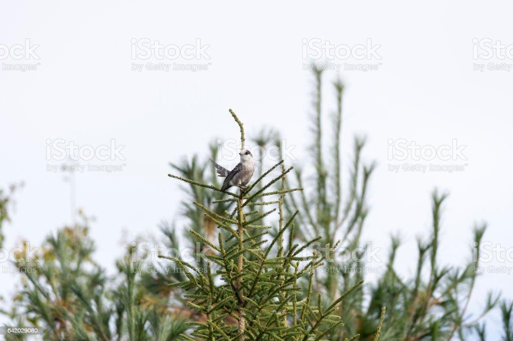 Gray Jay perched atop pine tree stock photo