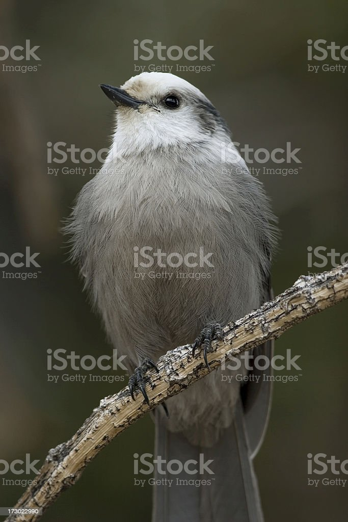 Gray Jay perched in Mt. Evans forest Colorado stock photo