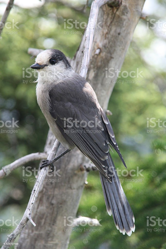 Gray Jay Perched on a Tree Branch stock photo