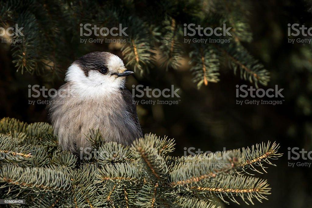 Gray Jay - Perisoreus canadensis stock photo