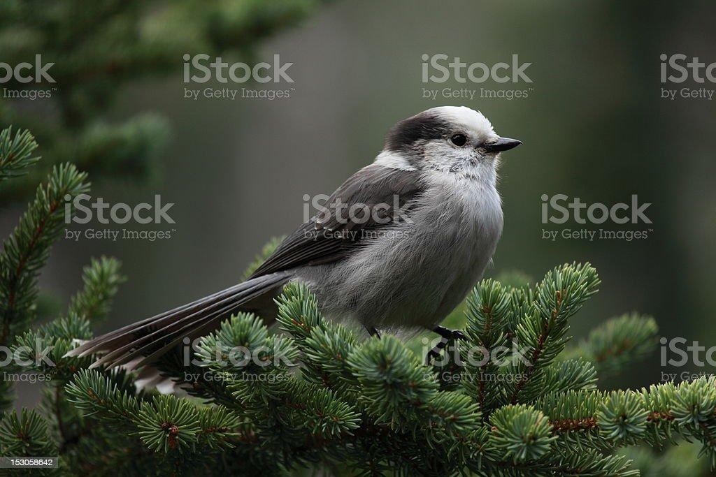 Gray Jay (Perisoreus canadensis). stock photo