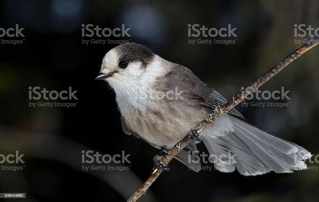 Gray Jay stock photo