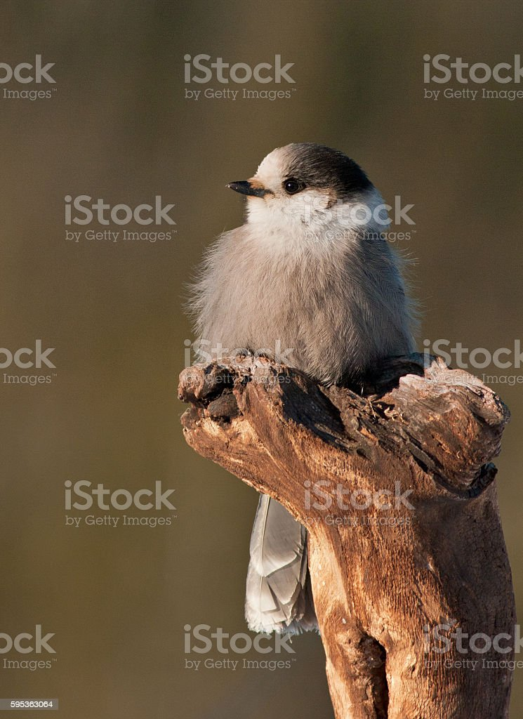 Gray Jay stock photo