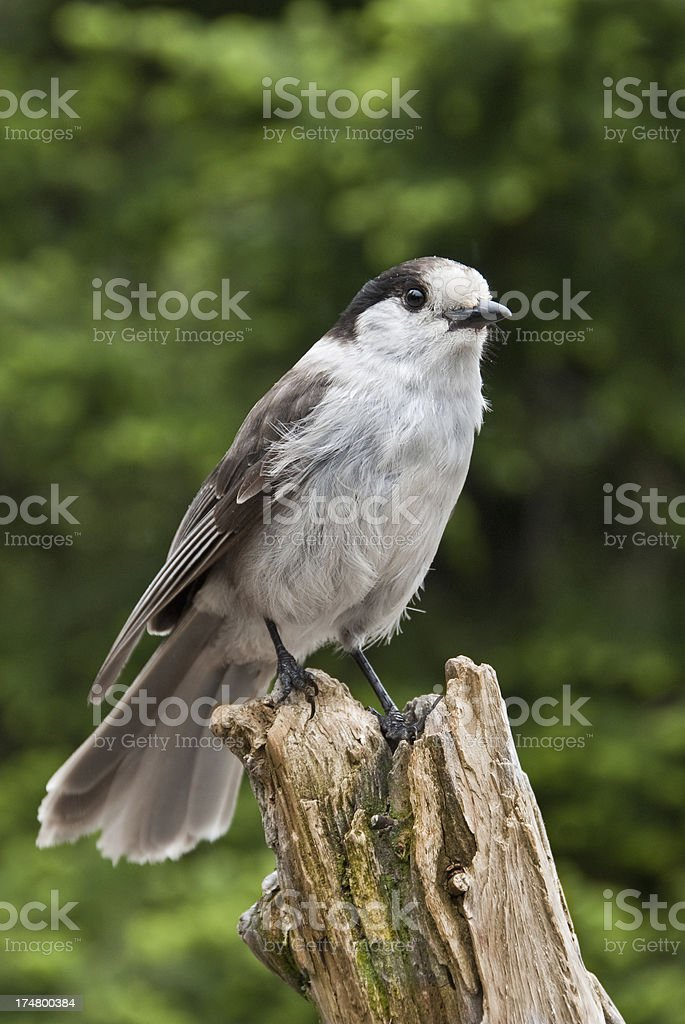 Gray Jay Standing on a Stump stock photo