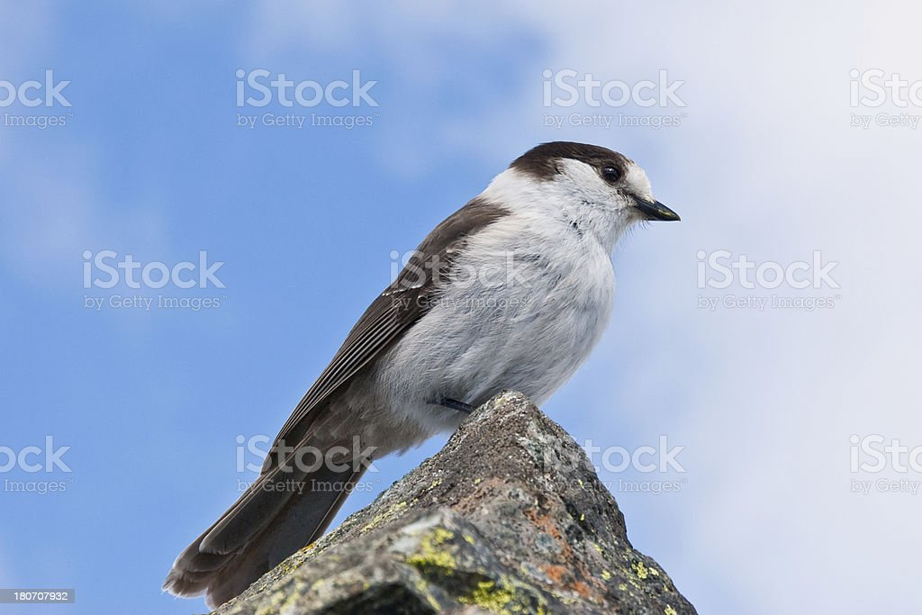Gray Jay With Blue Sky Background stock photo
