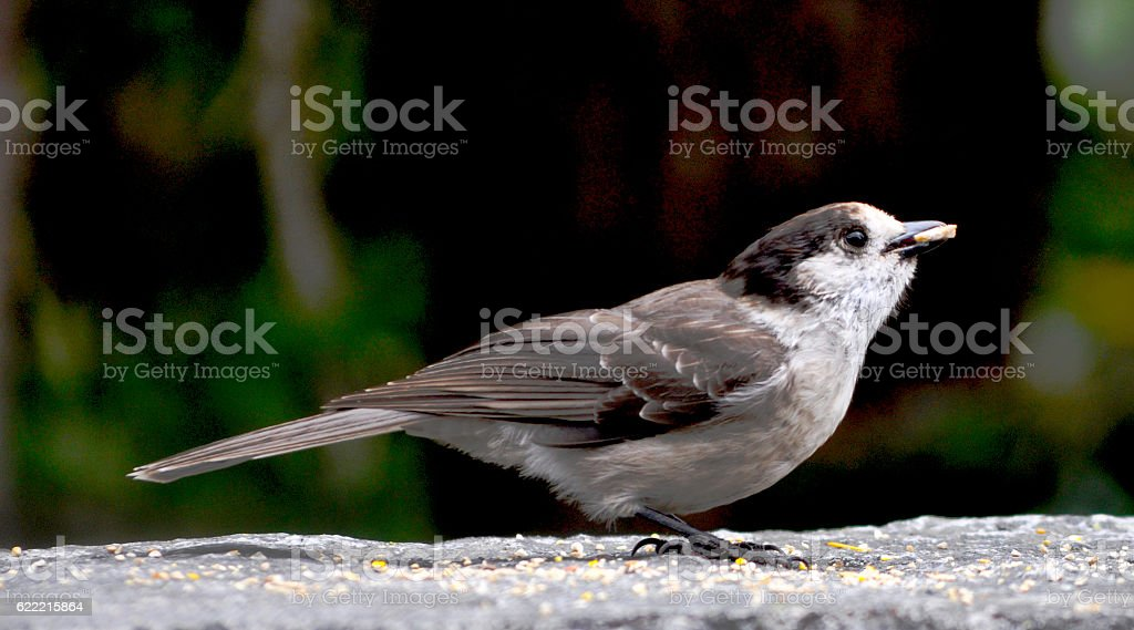 Gray Jay With Seed stock photo