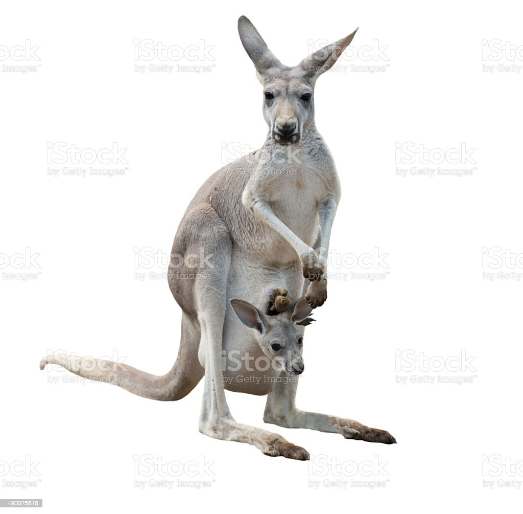 Gray kangaroo with joey stock photo