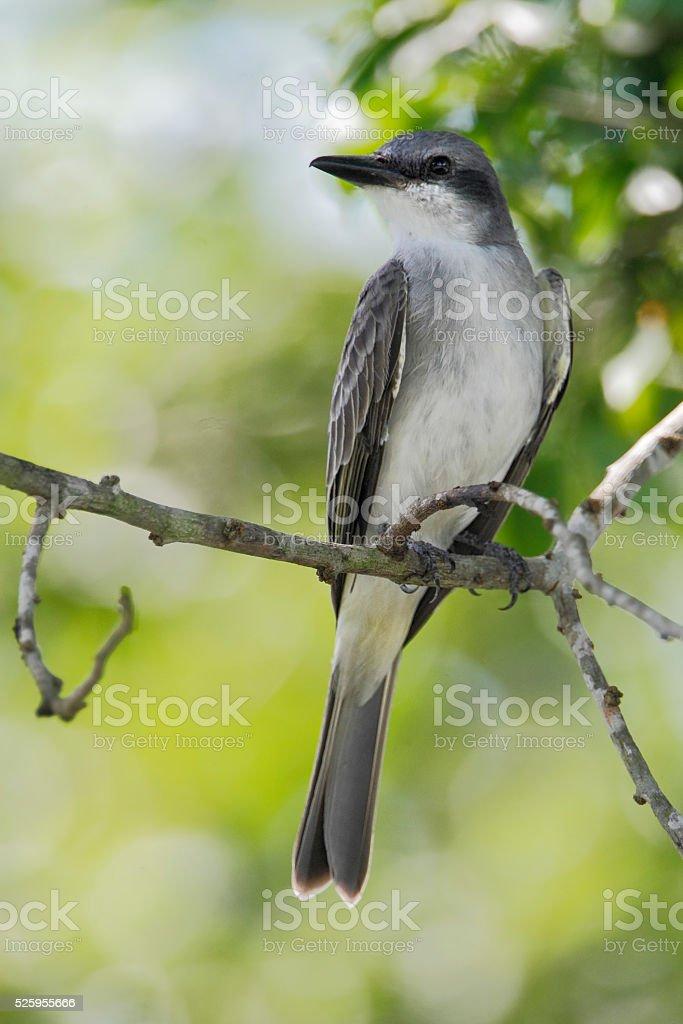 Gray King bird (Tyrannus dominicensis), Laguna Cartegena, Puerto Rico stock photo