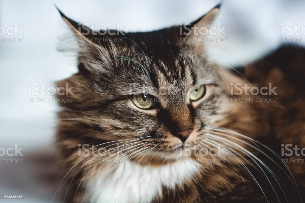 Gray kitten cat with stripped fur white chest  on white stock photo
