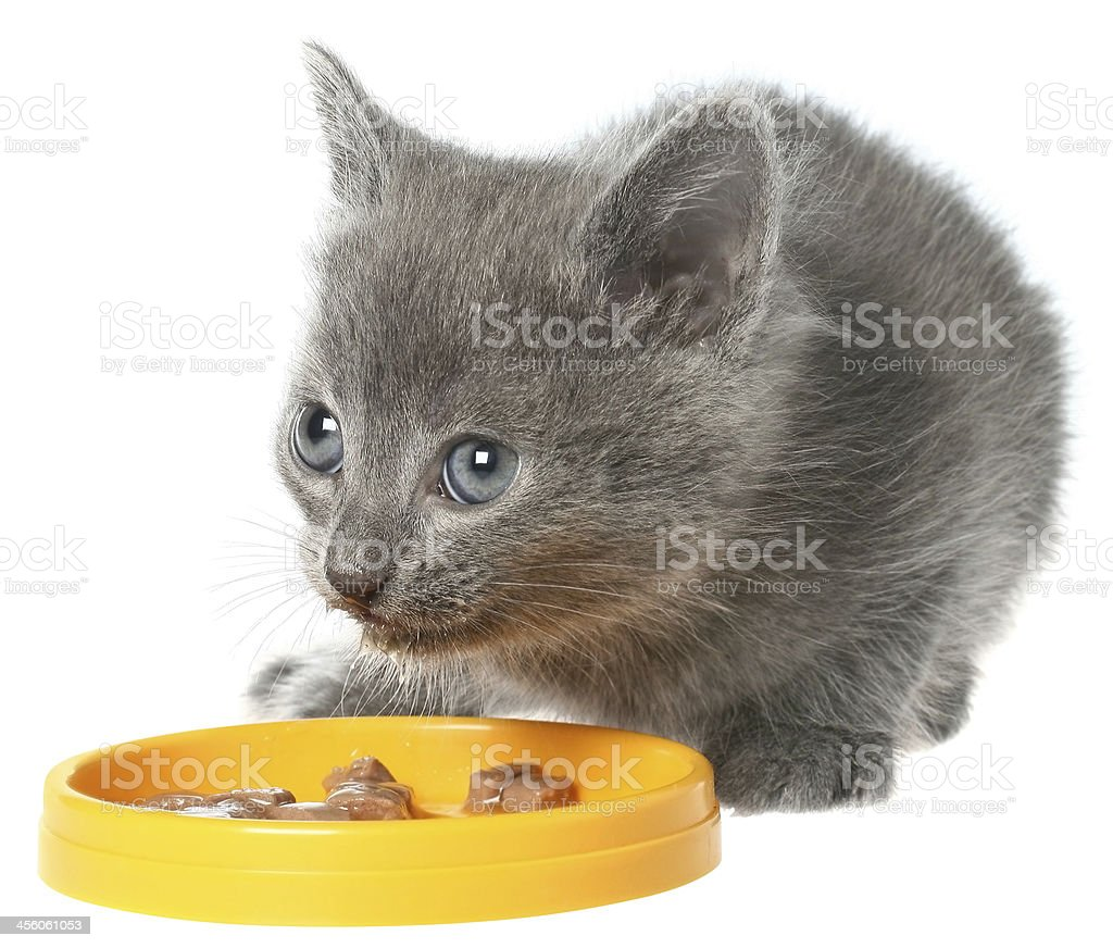 Gray kitten eating cat food from a yellow bowl. stock photo