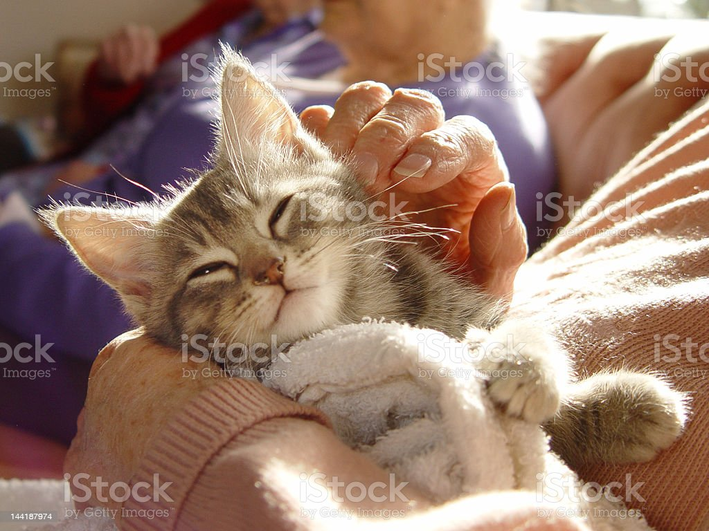 Gray kitten enjoying runs from human stock photo