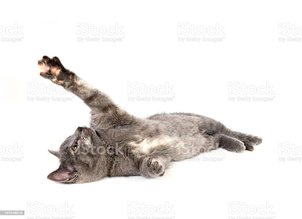 gray kitten laying down and swinging its paw stock photo
