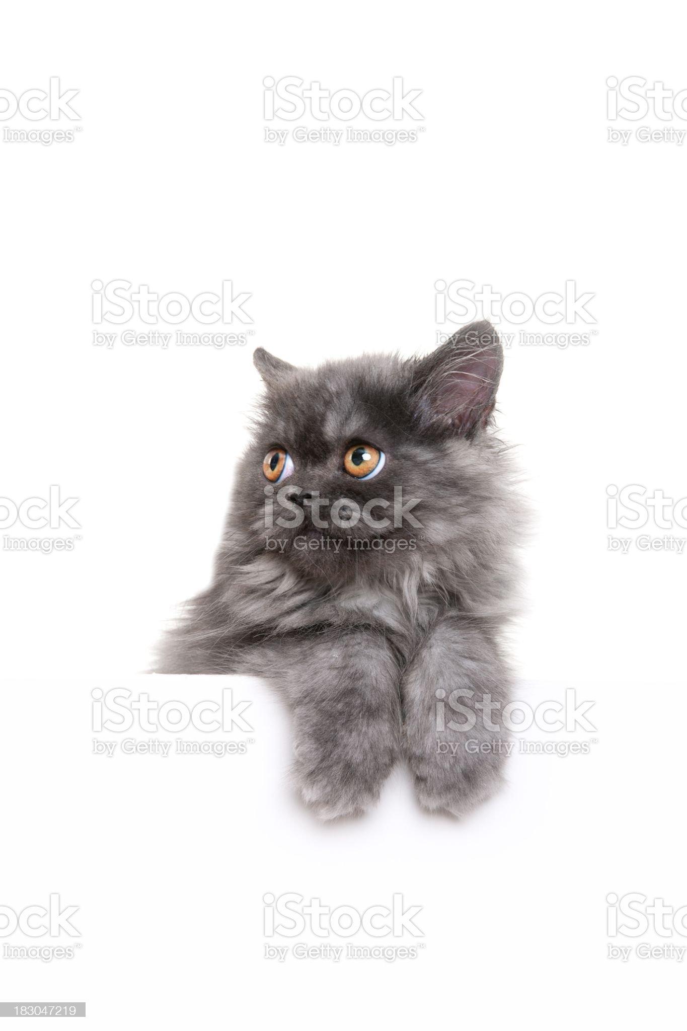 gray kitten royalty-free stock photo