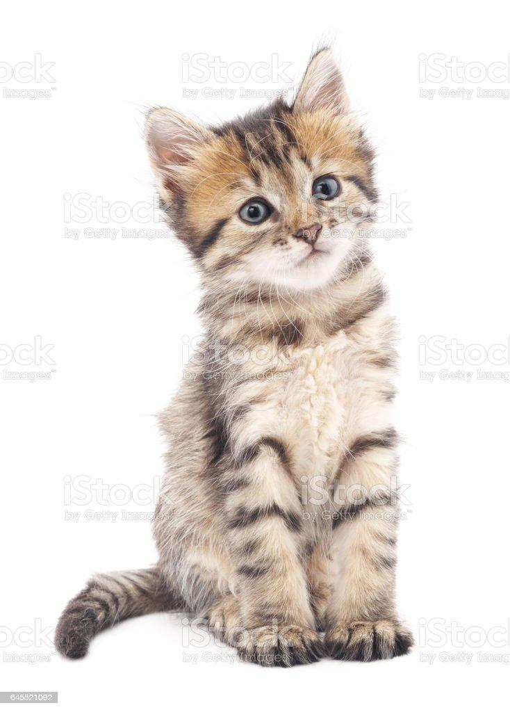 Gray kitten. stock photo