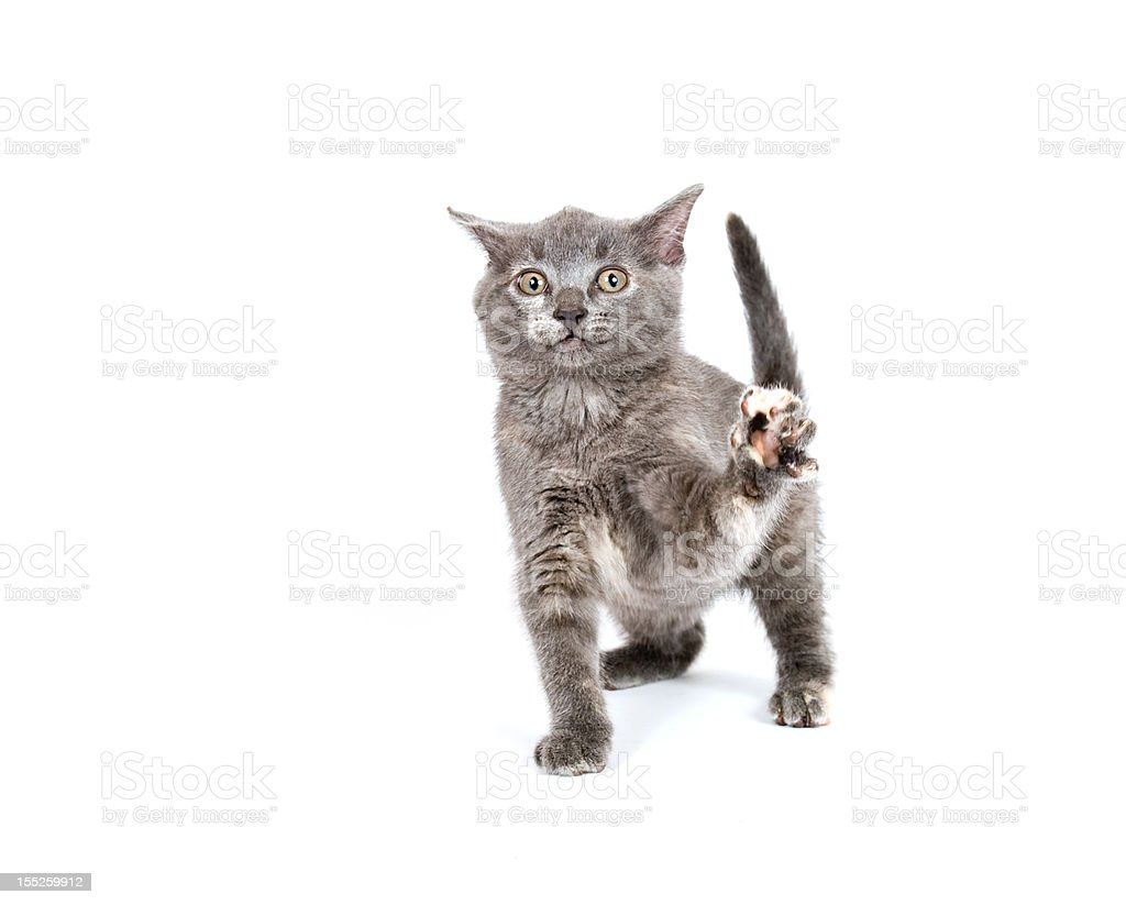 Gray kitten playing stock photo