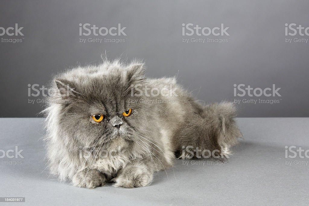 Gray Kitty royalty-free stock photo