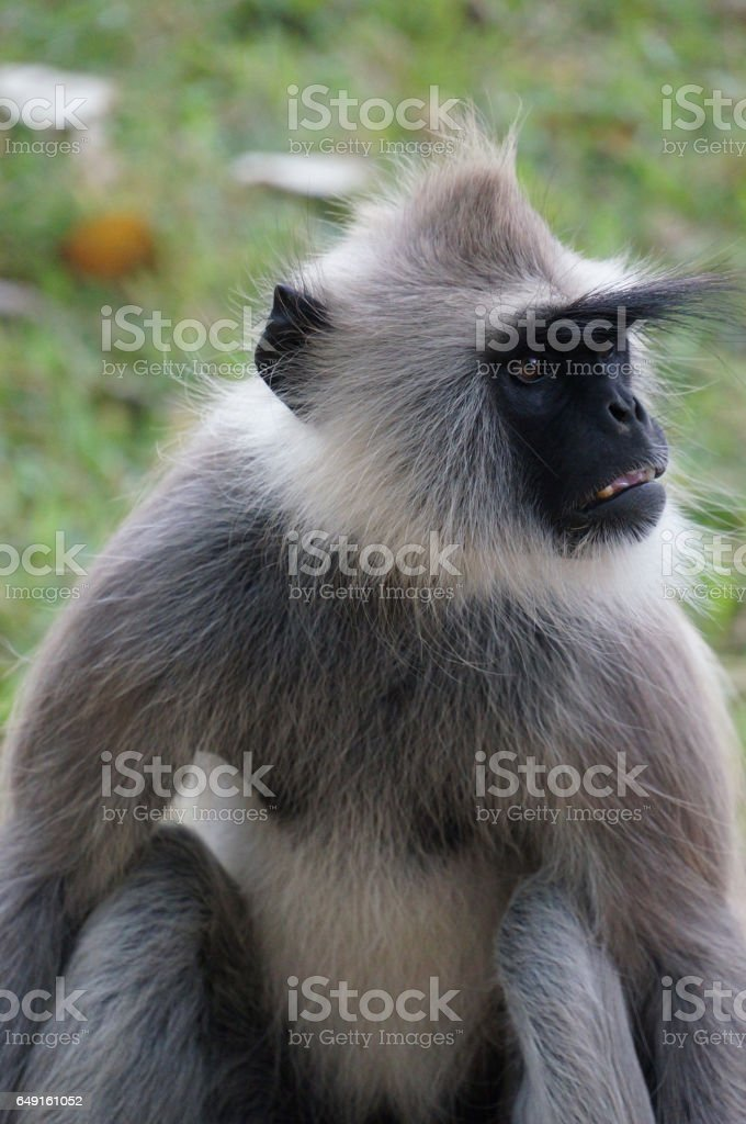 Gray Langur angry face stock photo