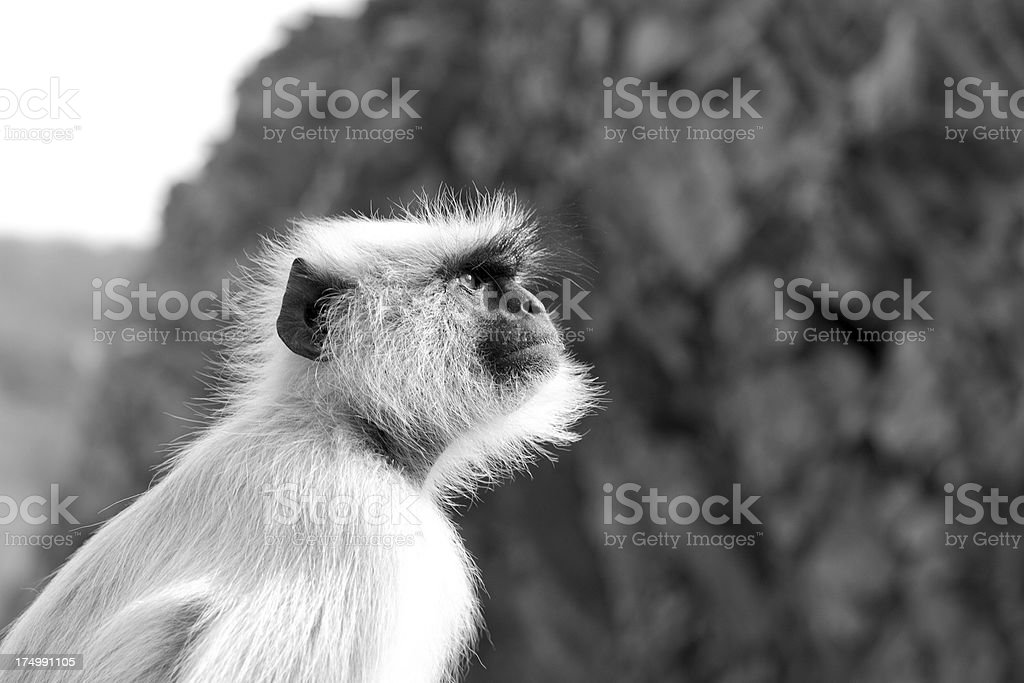 Gray langur in India royalty-free stock photo