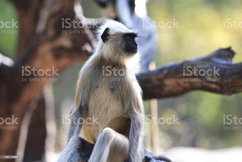 Gray langur looking off camera royalty-free stock photo