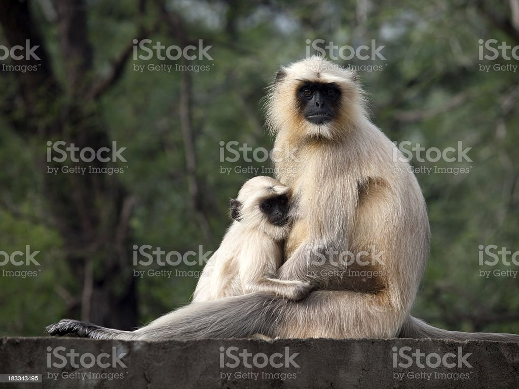 Gray Langur Monkey, India stock photo