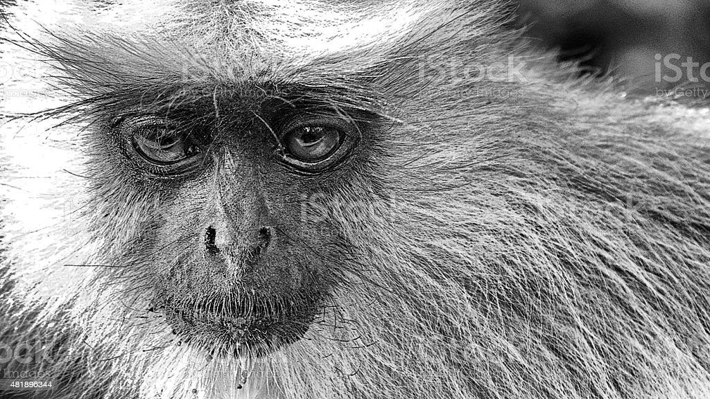 Gray langur stock photo