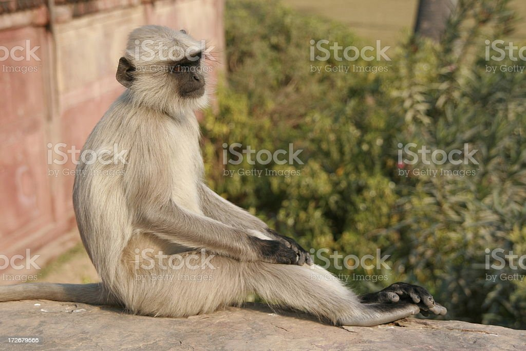 Gray langur sitting on a wall hands and feet folded royalty-free stock photo
