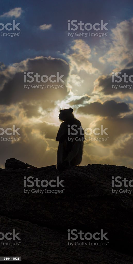 Gray Langur sitting on rocks stock photo