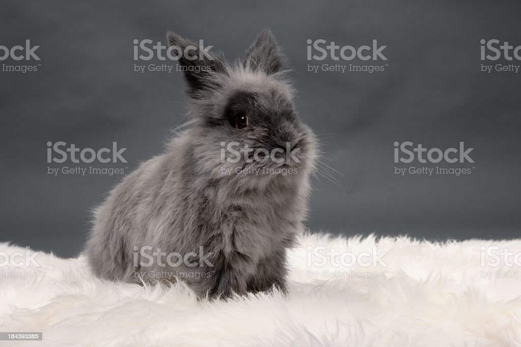 Gray Lionhead rabbit stock photo