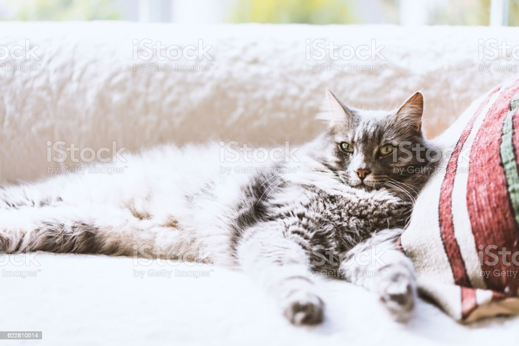 Gray long hair domestic cat on the couch stock photo