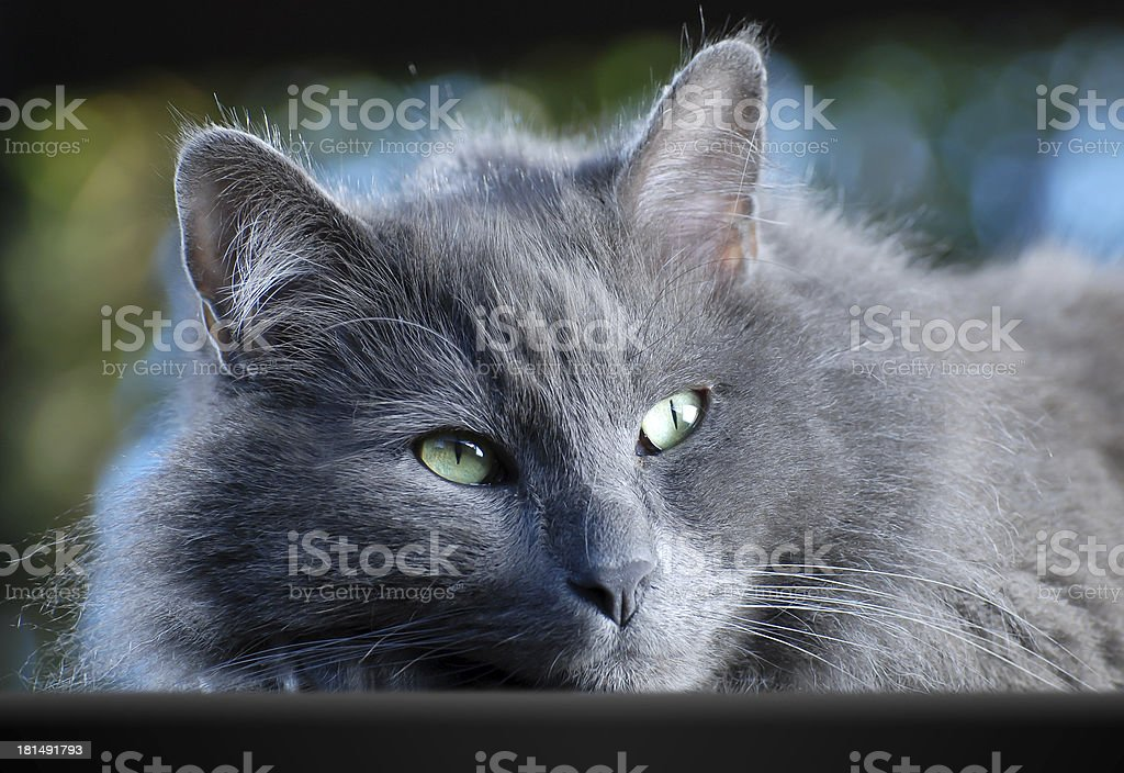 Gray longhair cat watching royalty-free stock photo