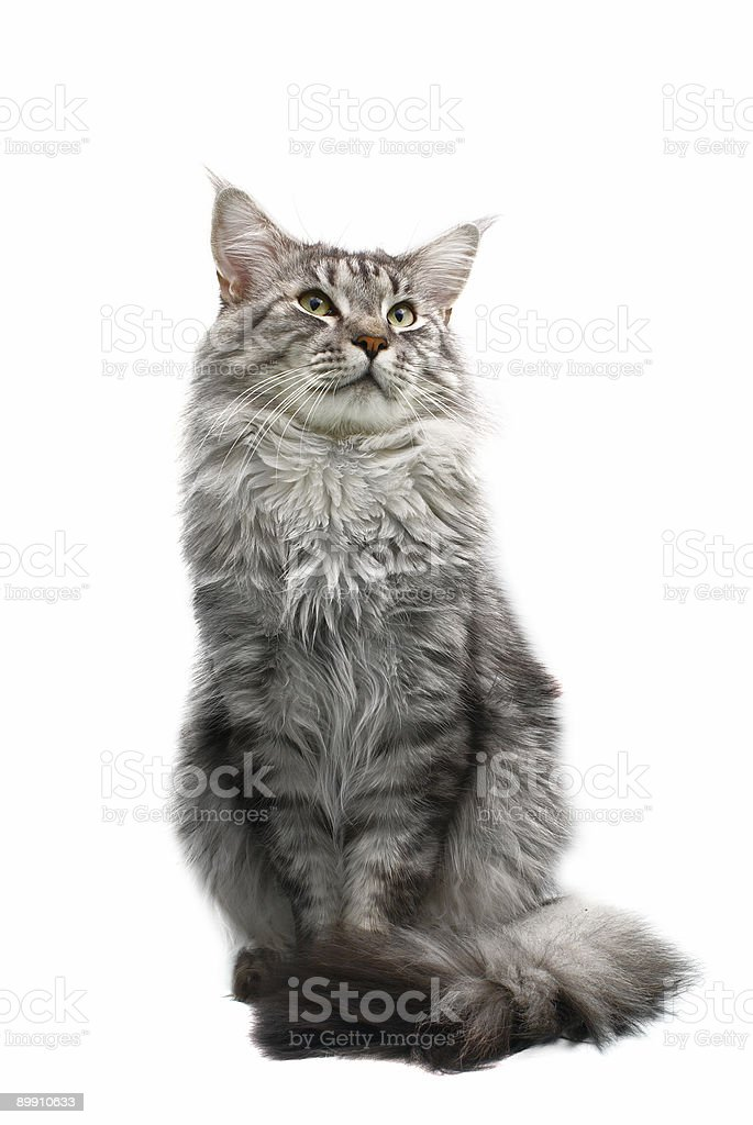 Gray Maine coon car isolated on white background stock photo