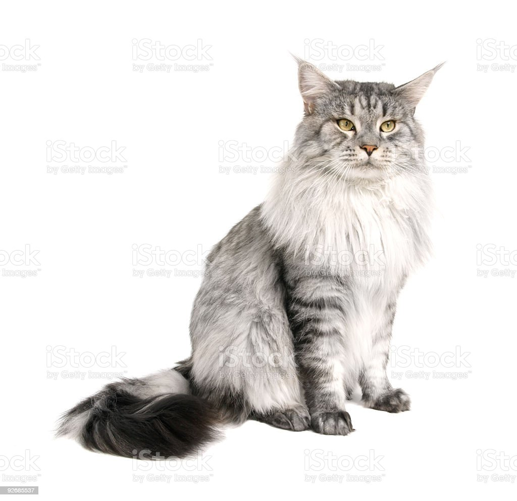 Gray Maine coon cat on a white background stock photo